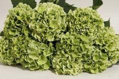 Hyrangea, jumbo - lime green all-time favorite flower. ahhhhh