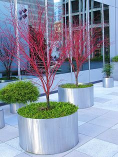 Buy Coral Bark Maple For Sale Online From Coral Bark Japanese Maple Add To Wish List Coral Bark Japanese Maple Acer Palmatum Sango Kaku Coral Bark Japanese Maple Tree Care Coral Bark Japanese Maple Gr Trees And Shrubs, Flowering Trees, Potted Trees, Garden Trees, Garden Planters, Metal Planters, Container Plants, Container Gardening, Gardening Books
