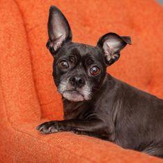 Pug dog for Adoption in Mission Hills, CA. ADN-527963 on PuppyFinder.com Gender: Male. Age: Adult
