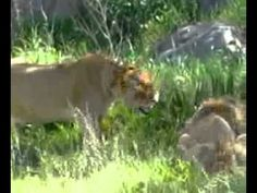 Lioness protect cubs in Serengeti- Thomson Safaris staffer, Jackie, shot this video while wildlife viewing in the Serengeti.