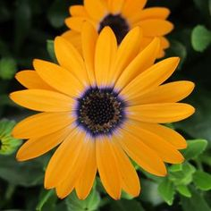 Google Image Result for http://www.gardencrossings.com/_ccLib/image/plants/IONE-917.jpg
