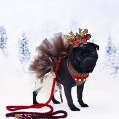 So. Many. Adorable. Christmas. Photos!!!! Photo by @pugalier.sisters.and.pearl Want to be featured on our Instagram? Tag your photos with #thepugdiary for your chance to be featured.