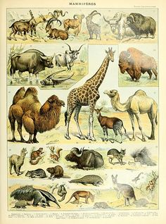 Mammals illustration of the Nouveau Larousse illustré, Adolphe Millot, public domain via Wikimedia Commons.