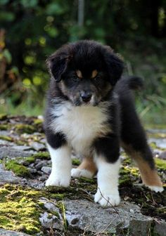 Find Out More On The Work-Oriented Australian Shepherd Puppies Personality Australian Shepherd Puppies, Aussie Puppies, Cute Puppies, Cute Dogs, Dogs And Puppies, Australian Shepherds, Doggies, Australian Shepherd Training, Aussie Shepherd