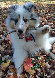 The Daily Puppy Moses the Shetland Sheepdog