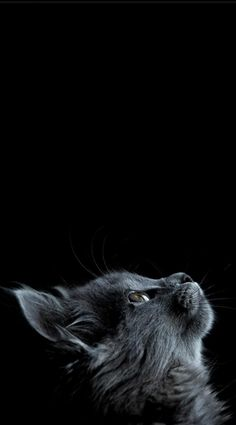 12 Best Kitten Wallpaper Images Fluffy Kittens Adorable Animals