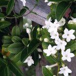Στεφανωτή, αναρριχώμενο φυτό με αρωματικά άνθη Diy And Crafts, Home And Garden, Nature, Flowers, Gardening, House, Garden, Plants, Blue Prints