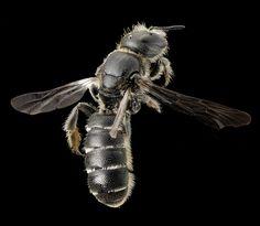Wild American Bees,  native pollinators photos by Sam Droege