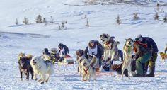Depuis 2001, la course Ivakkak célèbre la pratique traditionnelle du traîneau à chiens avec des huskies inuits de race pure. Seuls les Inuits ont le privilège d'y participer. Pendant 10 jours, 10 équipes s'affrontent sur 600 km de sentiers au Nunavik (nord du Québec) - Photo Martin Comeau, à l'arrivée de la course Ivakkak 2015 - www.goto-canada.be