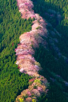 Wild cherry trees across a ridge in Japan