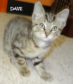 ADOPTED! AVAILABLE 10/16! STRAY Tag# 4214 Name is Dave  Gray Tiger  Male-not neutered Approx. 10 weeks old   https://www.facebook.com/267166810020812/photos/a.721168687953953.1073742076.267166810020812/721169037953918/?type=3&theater
