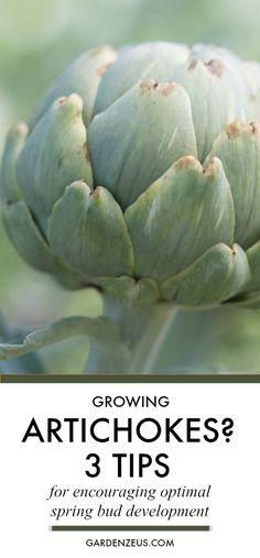 Growing Artichokes: 3 Tips for encouraging optimal bud development in spring #artichoke #gardening