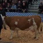The winner in a dairy show in Bavaria - Germany. She is an Enrico daughter - a very popular sire of Bayern Genetik.