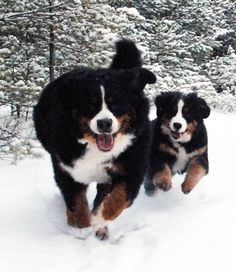 Snow bunnies … or should I say Snow Berners
