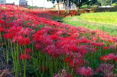 spider lily in gardens | spider lily, Lycoris radiata, a species with long stamens | Flickr ...