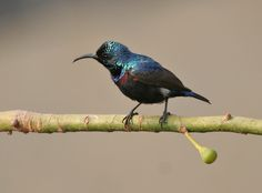 Purple Sunbird in Sunderban National Park