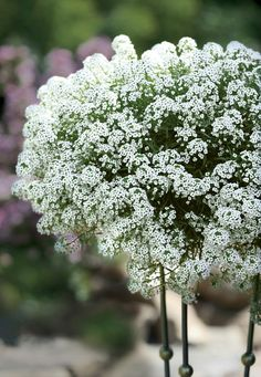 Snow Princess Lobularia delivers on all counts--cool tolerant AND heat tolerant, fragrant, and an all season bloomer. Tremendous in the landscape too. Plants Under Trees, Trees To Plant, Garden Shrubs, Garden Plants, Container Plants, Container Gardening, Gardening Zones, Gardening Blogs, White Plants