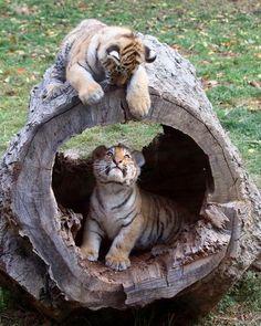 Wild life: The Siberian tiger