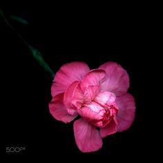 PRETTY IN PINK… Carnation by Magda Indigo on 500px