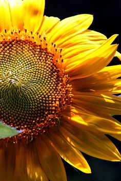 Stunning Sunflower by Nancy Kenney of Duluth GA