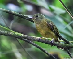 Ochre-bellied Flycatcher (Mionectes oleagineus) by Nick Athanas.