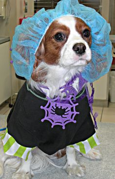 This is Cooper! He believes that being a vet shouldn't stand in the way of a little Halloween fun!!!