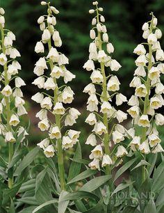 /\ /\ . Fritillaria persica 'Ivory Bells'