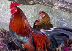 Gallo fino Cubano Cuban Cock