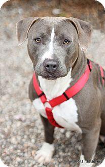 Goleta, CA - Basset Hound/Pit Bull Terrier Mix. Meet Lacy, a dog for adoption. http://www.adoptapet.com/pet/11416221-goleta-california-basset-hound-mix