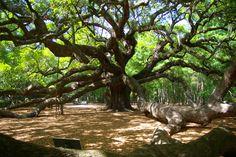 Angel Oak in Charleston, SC...the oldest living organism east of the Mississippi.