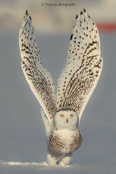 Snowy Owl taking flight.You can find Snowy owl and more on our website.Snowy Owl taking flight. Nature Animals, Animals And Pets, Cute Animals, Amazing Animals, Animals Beautiful, Exotic Birds, Colorful Birds, Fun Photo, Owl Pictures