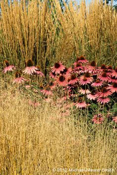 grass and cone flower ... This is what I was meaning, flowers looks nestled when another dense but airy medium sized plant is in front (salvia, grass, tall see-through miscanthus, etc.)