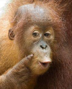 GRAPPIGE orang-OETAN BABY foto-8 X 10 Print  Baby dieren