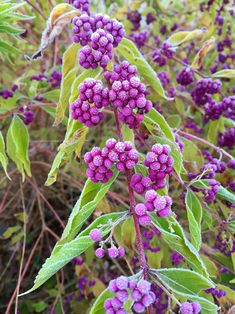 37 Best High Line Plant List Images Plants Shrubs High Line