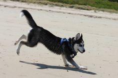 Siberian Husky puppy running on the beach.