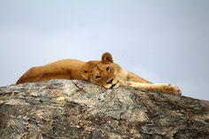 Lion (Panthera leo) in Serengeti