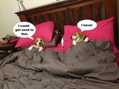 Beagles are spot stealers!