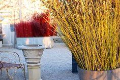 Dana Garden Design: Cornus alba 'Elegantissima' _ Cornus stolonifera