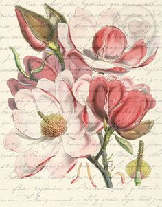 Hey, I found this really awesome Etsy listing at http://www.etsy.com/listing/83160832/antiqued-pink-magnolia-flower-digital