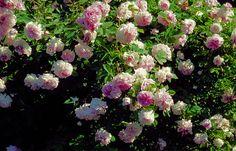 Blush damask, Rosa damascena-hybrid