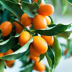 Their citrus-growing secrets - Favorite Citrus Trees - Sunset