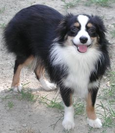 miniature australian shepherd | Happy Miniature Australian Shepherd photo and wallpaper. Beautiful ...