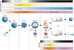 Epigenetic gene regulation during mammalian development.