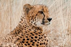 A Cheetah Intensely Watches. Cheetah Pictures, Cheetahs, Great Photos, Watches, Board, Animals, Animales, Wristwatches, Animaux