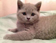 Baby British shorthair ❤