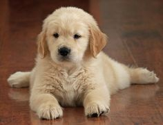 golden retriever puppy- they're the best