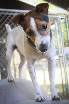 Jack Russel Terrier -- That head tilt is what gets me... every time