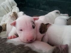 #Bullterrier #puppies