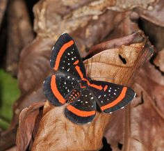 Red-barred Amarynthis - Amarynthis meneria