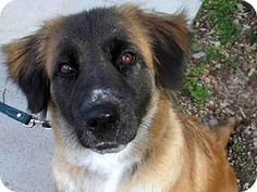 Pittsburgh, PA - German Shepherd Dog Mix. Meet BEYONCE, a dog for adoption. http://www.adoptapet.com/pet/13257037-pittsburgh-pennsylvania-german-shepherd-dog-mix